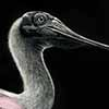 Spoonbill - Scratchboard and Ink