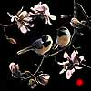 Spring's Promise - Scratchboard Chickadees