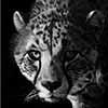 Staredown - Scratchboard Art Cheetah