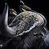 Table For Two - Scratchboard Art Cape Buffalo and Oxpeckers