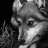 The Thinker - Scratchboard Gray Wolf