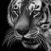 tigermini1 - Scratchboard