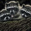 Tres Banditos - Scratchboard Raccoons