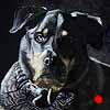 Vinni - Scratchboard Rottweiler