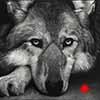 Waiting on Sundown - Scratchboard Art Wolf