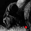 With Age Comes Wisdom - Bison Scratchboard