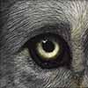 Watching Wolf - Scratchboard Art Wolf