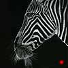 Needin' A shave - Scratchboard Art Zebra