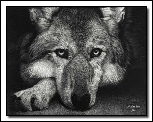 Waiting On Sundown - Scratchboard gray wolf