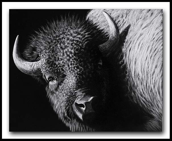 Wooly Bully - Scratchboard American Bison