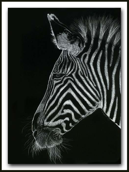 Needin A Shave - Grevy Zebra scratchboard